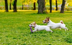 Two Jack Russells playing