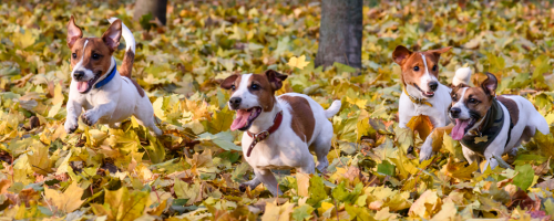 Dogs running in leaves