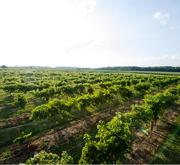 Vineyard at Winery at Versailles